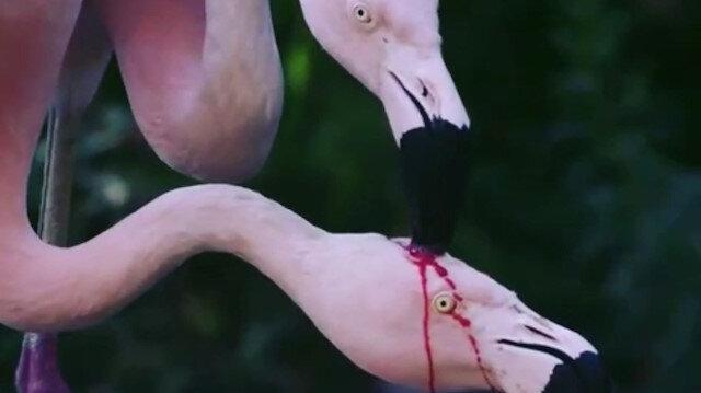 Flamingolar bebeklerini kanla mı besliyor?