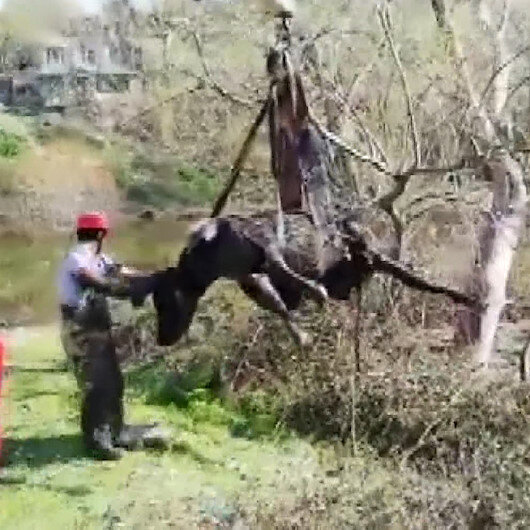 Çamura saplanan inek vinçle kurtarıldı