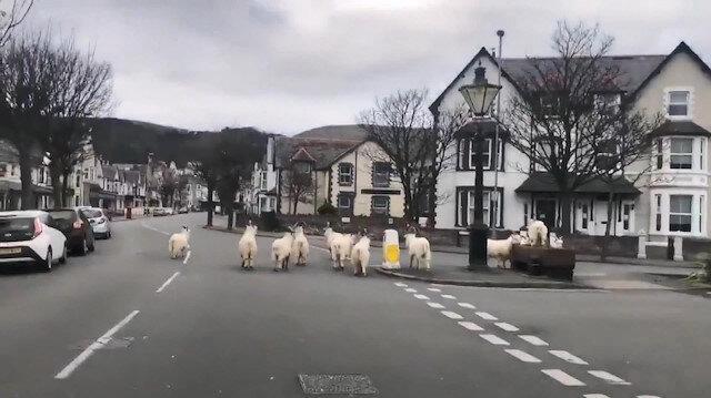 Sokaklar boş kalınca yabani keçiler şehre indi