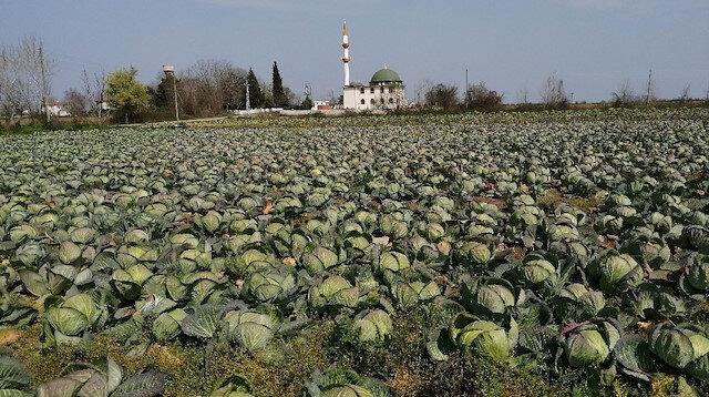 Beyaz lahana tarlada hasat bekliyor: Karpuz ve kavun ekimi yaklaşıyor