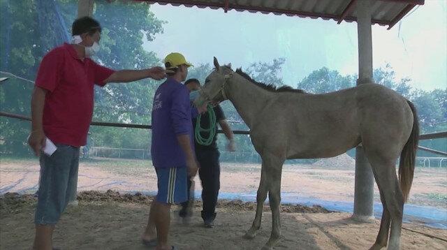Tayland'da 'Afrika at vebası' salgını patlak verdi: 200 at telef oldu