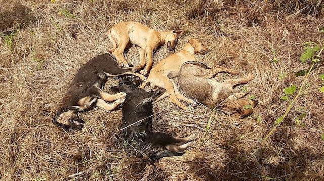 Antalya'da köpek katliamı: Beşi öldü, dördü ise kayıp!