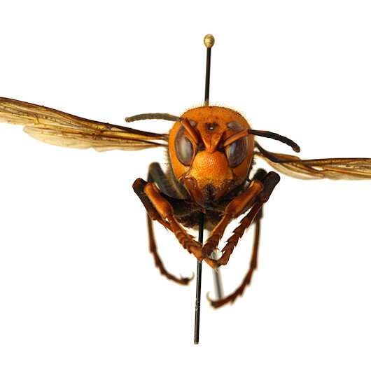 ABDde katil eşek arısı paniği