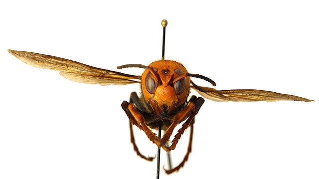 ABD'de katil eşek arısı paniği