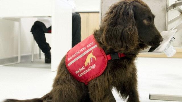 İngiltere'de köpekler koronayı koklayacak