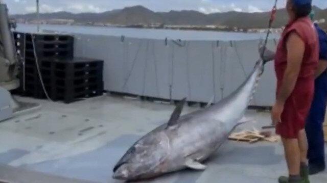 İspanya'da 305 kiloluk dev ton balığı yakalandı