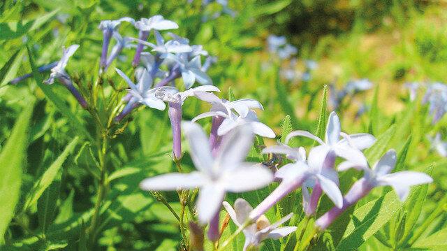 Endemik bitkiler doğaya kazandırıldı