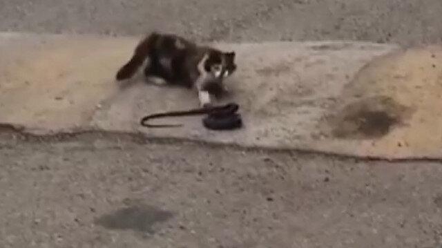 Kedinin bir metrelik yılanı ağzına aldığı görüntüler hayrete düşürdü