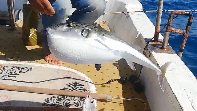 Balon balığının çıkardığı ses şaşırttı: Kayalık bölgelerde deniz ayakkabılarınızı giyin