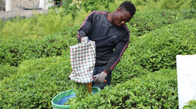 Çay bahçeleri Birleşmiş Milletler gibi: İlginç görüntüler oluşturuyor