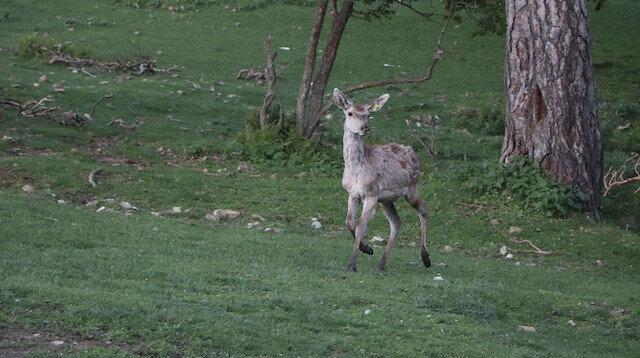 Samsun'da bir çift geyik 75 geyik oldu: Üretim faaliyetleri devam ediyor