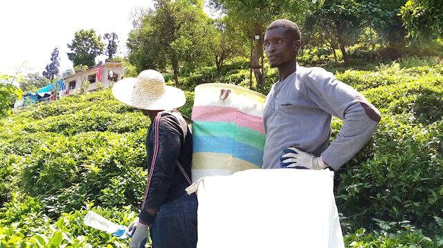Senegalli işçiler çay toplamayı internetten öğrenmiş