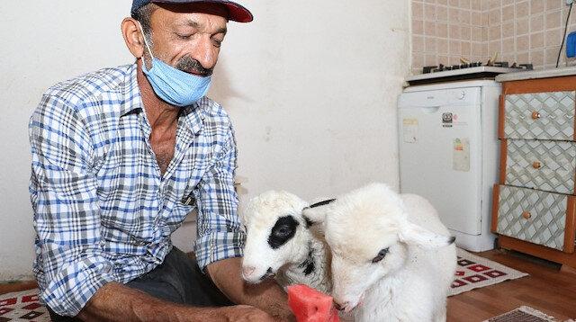 Anneleri ölen yavru kuzular Garip ve Öksüz'e evlerinde bakıyorlar
