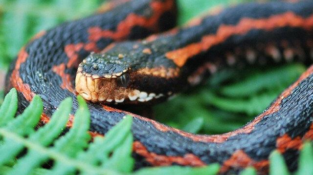 Yılanların son dönemde sıkça görülmesinin sebebini açıklandı: En çok çaylık alanlarda görülüyor