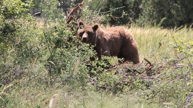 Kütahya'da bir bahçede kiraz yemeye gelen ayı tel örgüye takıldı