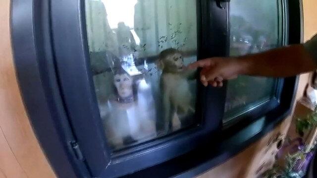Oto galeriye düzenlenen operasyonda nesli tükenmekte olan dört maymun bulundu