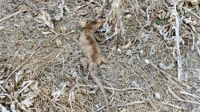 Şanlıurfa'da nesli tükenmekte olan çöl varanı doğaya bırakıldı