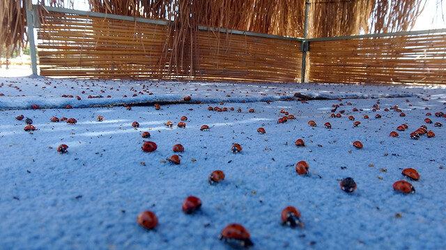 Saros Körfezi'ni istila ettiler: Uğur böcekleri her yerde