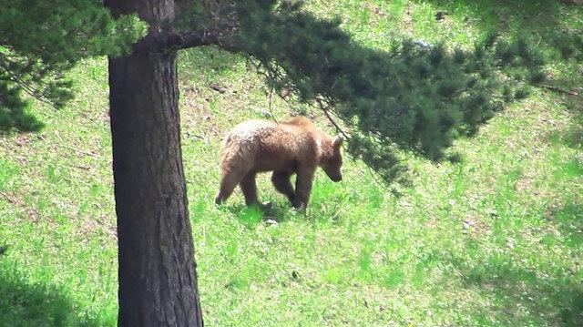 Boz ayıların göç ettiği ilk kez Sarıkamış'ta ortaya çıktı