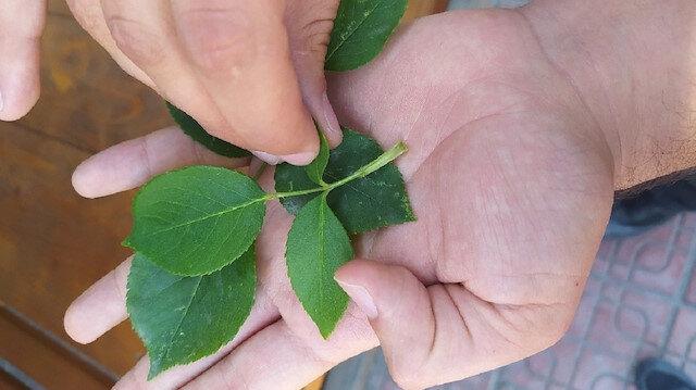 Kastamonu'da 3 bin yılda bir açtığına inanılıyor: 'Udumbara çiçeği' cennetten gelen hayır çiçeği olarak biliniyor
