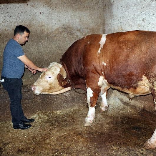 Yozgat'ta 2 tonluk boğa 70 bin liraya satışa çıkarıldı: Yanında bir koç hediye edilecek