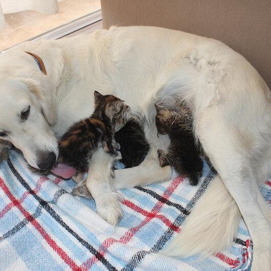 Annesiz kedi yavrularına evin köpeği sahip çıktı