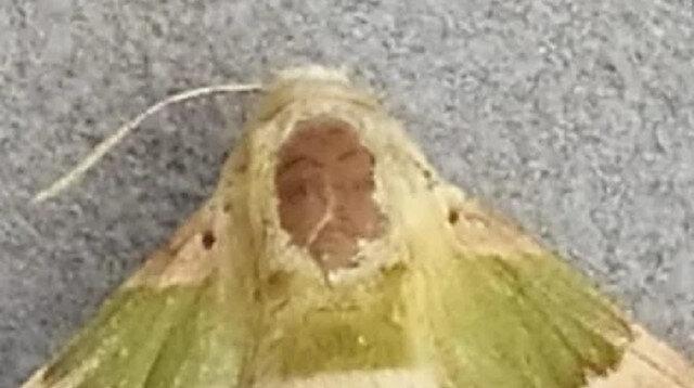 Gaziantep'te şaşkına çeviren görüntü: İnsan yüzlü kelebek