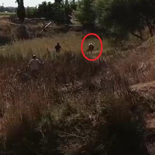 Bursa'da kurbanlık dana kaçtı, onlar kovaladı