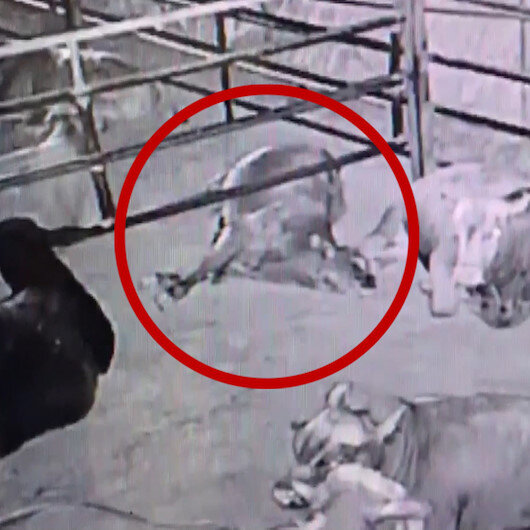 Kahramanmaraşta yılan sokması sonucu üç büyükbaş hayvan telef oldu