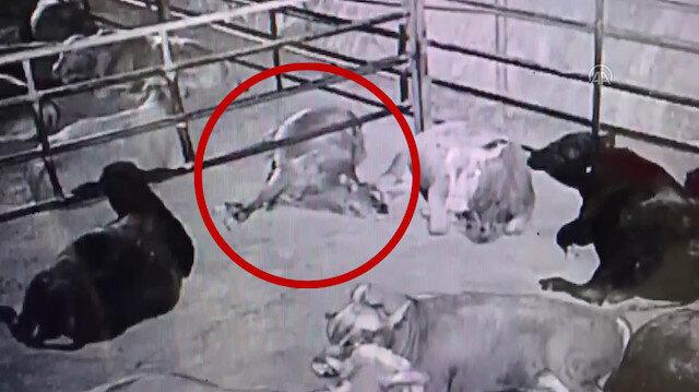 Kahramanmaraş'ta yılan sokması sonucu üç büyükbaş hayvan telef oldu
