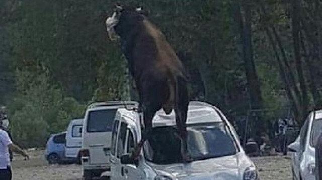 Kurbanlık boğa ürküp park halindeki aracın üstüne çıktı