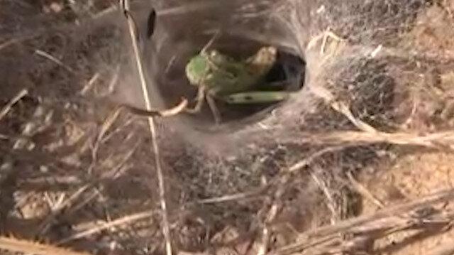 Örümceğin çekirge avı kamerada