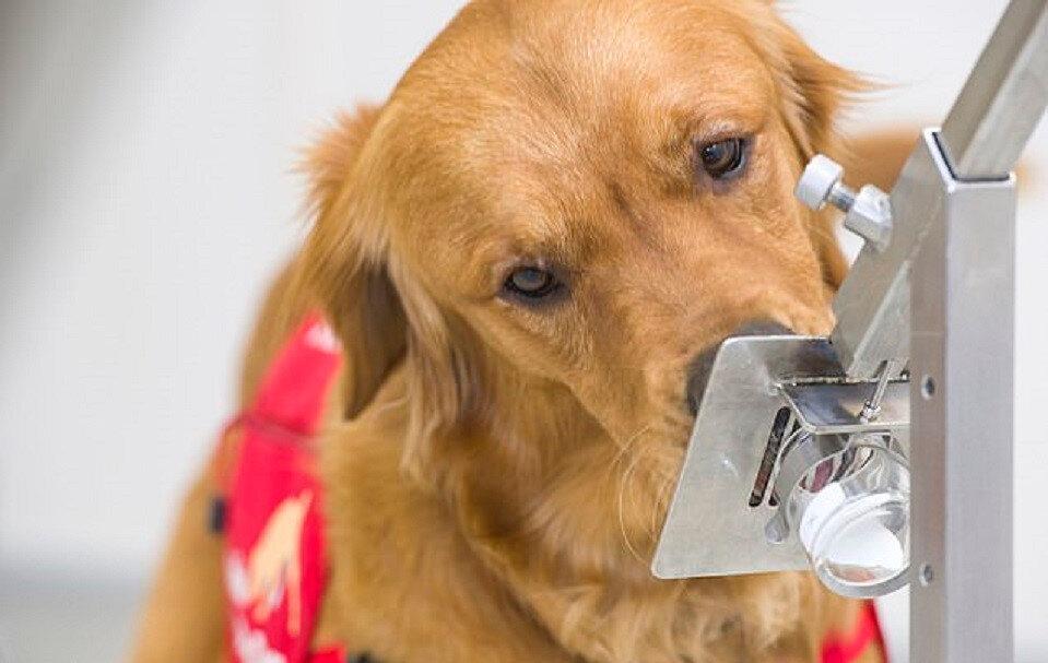 Köpeklerin virüsü tam olarak nasıl tespit edebilecekleri net olmasa da bunu yüzde 94 doğrulukla yapabildikleri görülüyor.