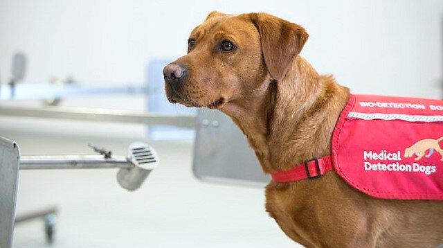 Köpekler saniyeler içerisinde koronavirüslü hastayı tespit ediyor