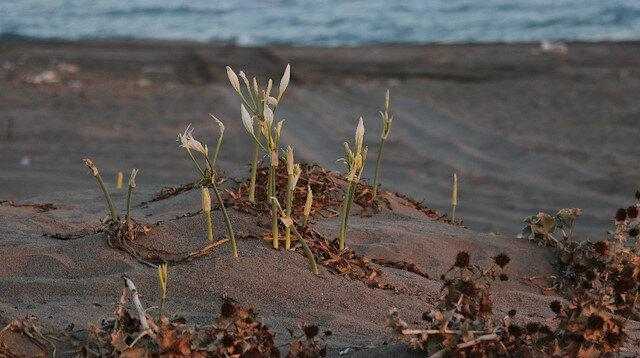 Adana'da sahilin süsü kum zambaklarını koparmanın cezası 73 bin lira