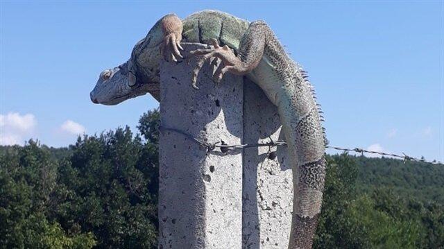 Yoldan geçen vatandaşlar buldu: İstanbul'da iguana paniği