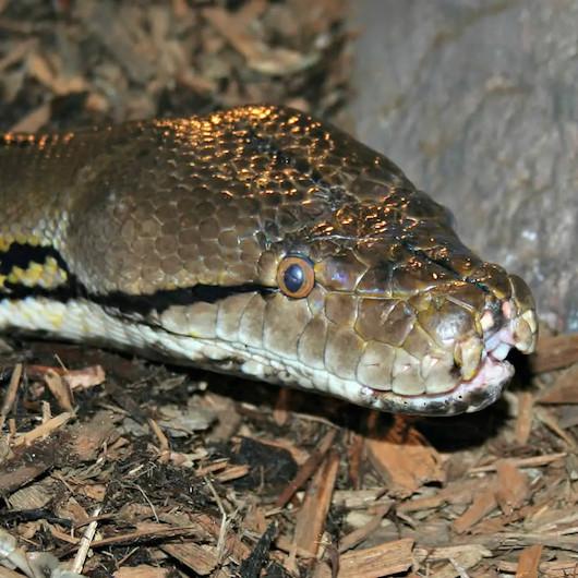 Avustralya'da korkunç olay: İki piton yılanı mutfak tavanını çökertti