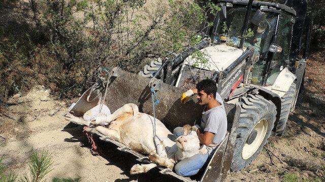 Uçurumdan düşen inek kepçeyle kurtarıldı: Sahibi 3 gün başında bekledi