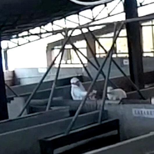 İşçilerden kuzulara insanlık dışı şiddet anları kamerada