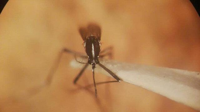 İstanbul'da 'Asya Kaplan Sivrisineği' istilası: Çok daha fazla saldırgan