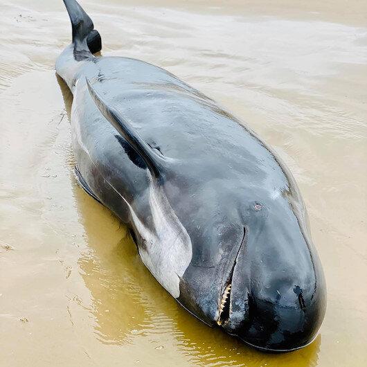 Avustralya'da sığ sularda mahsur kalan balinalar kurtarılamadı: Doksan balina öldü
