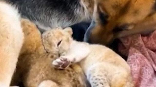 Terk edilen aslan yavrularına köpek annelik yaptı