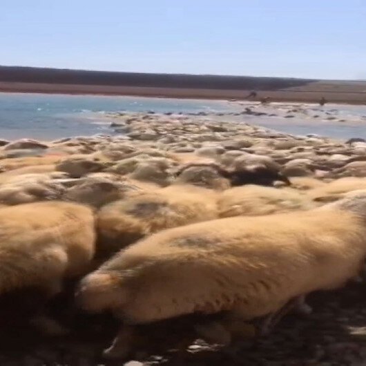Yüksek ateş çıkan hayvanlarını baraj gölünde serinleterek kurtardı