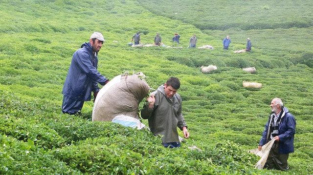 Türkiye'den 105 ülkeye çay ihracatı