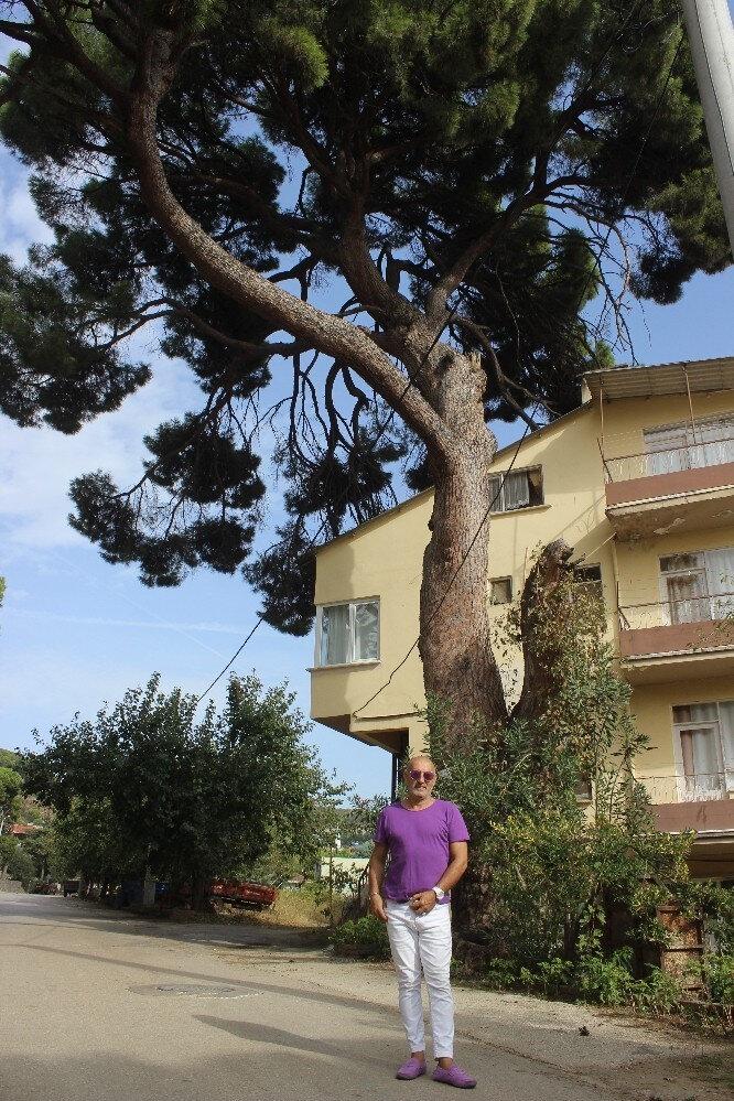 700 yıllık çam ağacı.