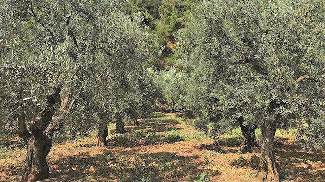 Edremit'te zeytinlikler talan ediliyor: Kanunsuz başkan