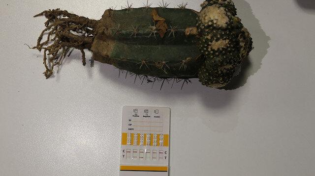 Esendere Gümrük Kapısı'nda halüsinasyona neden olan bitki ele geçirildi