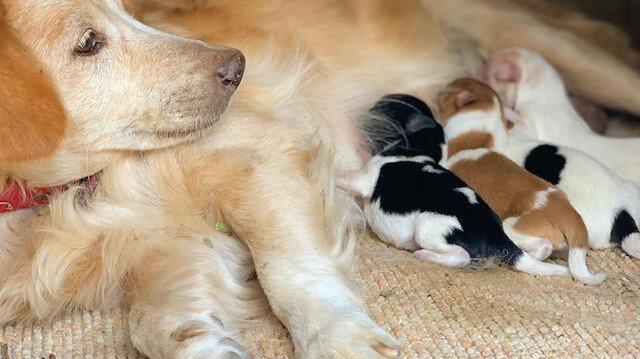 Annesiz kalan Rus fino köpeklerini Anadolu çoban köpeği besliyor