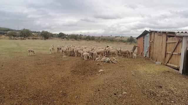 Hayvanlarda çiçek hastalığı çıktı: 15 köy karantinaya alındı