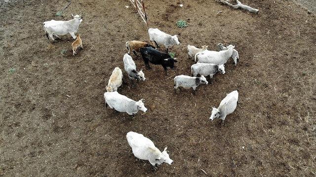 Klon sığır ailesi sürü oldu: Yeni dünyaya gelen yavru ilgi odağı oldu